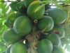 529px-carica_papaya_-_papaya_-_var-tropical_dwarf_papaya_-_desc-fruit
